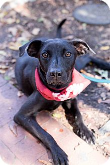 Labrador Retriever/Feist Mix Dog for adoption in Washington, D.C. - Raven