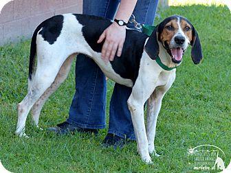 Treeing Walker Coonhound Dog for adoption in Marlinton, West Virginia - Ava