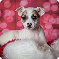 Adopt A Pet :: Brooklyn - Plano, TX
