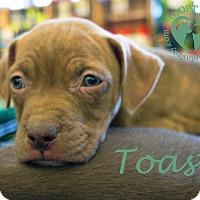 Adopt A Pet :: Toast - Newport, KY