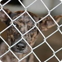 Adopt A Pet :: Sarge - Covington, LA