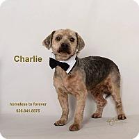 Adopt A Pet :: Charlie - Sherman Oaks, CA