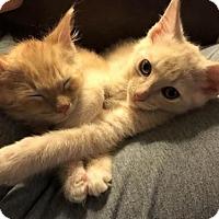 Adopt A Pet :: Gizmo - ROSENBERG, TX