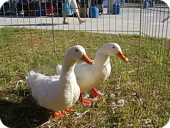 Duck for adoption in Indian Trail, North Carolina - Plenty of Pekins
