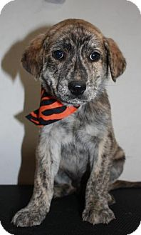 Plott Hound/Labrador Retriever Mix Puppy for adoption in Stilwell, Oklahoma - Jeff
