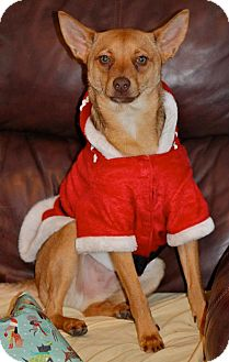 "Spitz (Unknown Type, Small)/Basenji Mix Dog for adoption in Hastings, New York - Wilbur ""Wild Bill"""