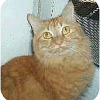 Domestic Mediumhair Cat for adoption in Chandler, Arizona - Juice