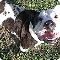 Adopt A Pet :: Mr. ED - Dallas, TX