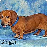 Adopt A Pet :: Ginger - Ft. Myers, FL