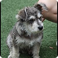Adopt A Pet :: Scrappy - Rockwall, TX