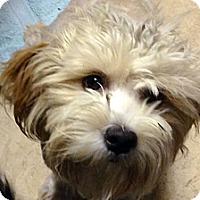 Adopt A Pet :: Ambrosia - La Quinta, CA