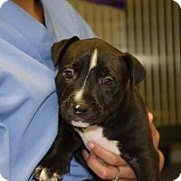 Adopt A Pet :: Pixie - Bradenton, FL