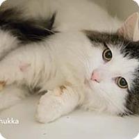 Adopt A Pet :: Chukka - Merrifield, VA