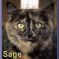 Adopt A Pet :: Sage - Aldie, VA