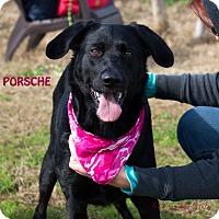 Adopt A Pet :: Porsche - Patterson, CA