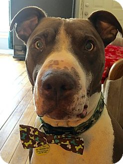 American Pit Bull Terrier Mix Dog for adoption in Warren, Michigan - Sherman
