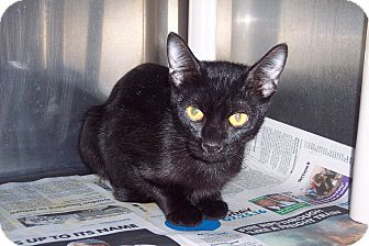 Domestic Shorthair Cat for adoption in Olivet, Michigan - Saphire