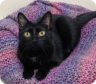 Domestic Shorthair Cat for adoption in Willmar, Minnesota - Dolly