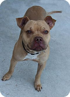 American Staffordshire Terrier Mix Dog for adoption in Manitowoc, Wisconsin - Gunner