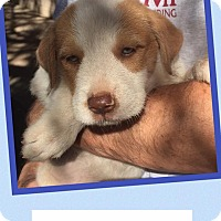 Adopt A Pet :: Christopher - Scottsdale, AZ