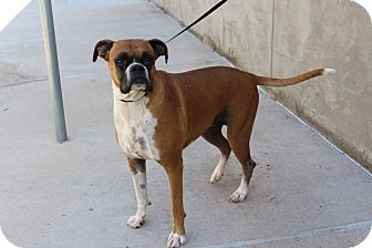 Boxer Dog for adoption in Austin, Texas - Chianti