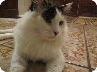 Maine Coon Cat for adoption in Valley Center, California - Shakari