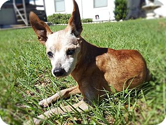 Miniature Pinscher Mix Dog for adoption in North East, Florida - King Louie