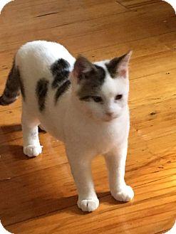 Domestic Shorthair Kitten for adoption in Wyoming, Michigan - SkippyJon