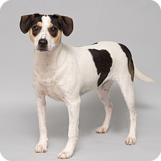 Terrier (Unknown Type, Small)/Beagle Mix Dog for adoption in Westfield, New York - Jay