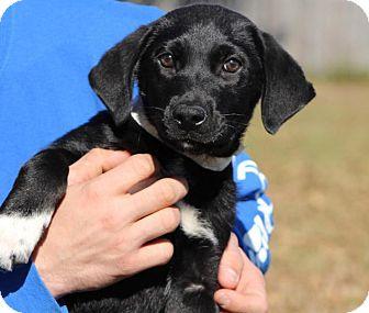 Australian Shepherd/Retriever (Unknown Type) Mix Puppy for adoption in Berkeley Heights, New Jersey - Happy