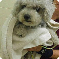 Bichon Frise/Poodle (Miniature) Mix Dog for adoption in Vero Beach, Florida - OREO
