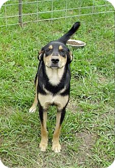 Australian Shepherd/Labrador Retriever Mix Dog for adoption in Moulton, Alabama - Ariana
