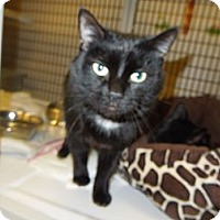 Adopt A Pet :: Blacky - Medina, OH