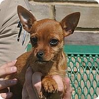Adopt A Pet :: Tinkerbell - white settlment, TX