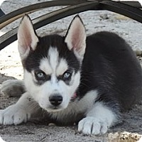 Adopt A Pet :: Togo - Horsham, PA