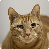 Adopt A Pet :: Paprika (Pumpkin) - North Branford, CT