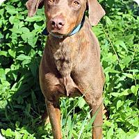 Adopt A Pet :: Tonto - Westminster, CO