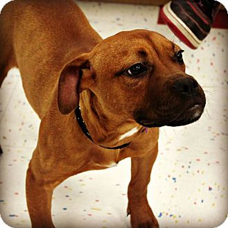 Boxer/Terrier (Unknown Type, Medium) Mix Puppy for adoption in East Rockaway, New York - Alice