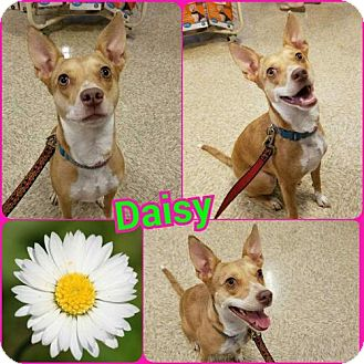 Jack Russell Terrier/Chihuahua Mix Dog for adoption in Fenton, Missouri - Daisy