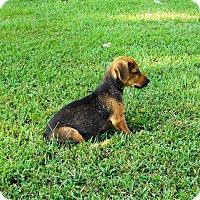 Adopt A Pet :: Edie - Aurora, CO