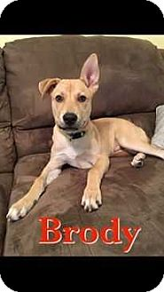 Boxer/Husky Mix Puppy for adoption in Tampa, Florida - Brody
