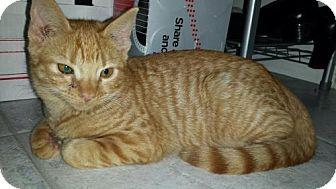 Domestic Shorthair Cat for adoption in Glendale, Arizona - Capri
