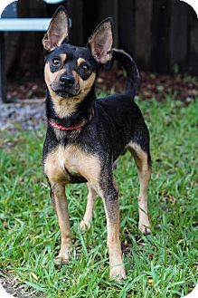 Chihuahua/Miniature Pinscher Mix Dog for adoption in Holly Springs, North Carolina - Splendid