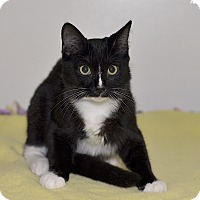 Domestic Shorthair Cat for adoption in Medina, Ohio - Comet
