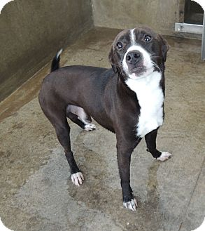 Rat Terrier/Pit Bull Terrier Mix Dog for adoption in House Springs, Missouri - Kilo