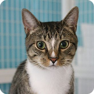 Domestic Shorthair Cat for adoption in Gaithersburg, Maryland - Tarzan
