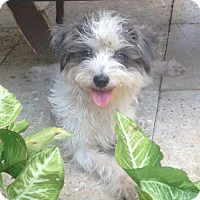 Havanese Mix Dog for adoption in Houston, Texas - Fresh Prince