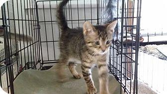 Domestic Shorthair Kitten for adoption in Port Clinton, Ohio - Nya