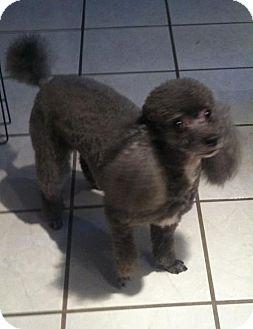 Poodle (Miniature) Dog for adoption in San Antonio, Texas - Kimmie
