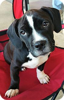 Hound (Unknown Type)/Pit Bull Terrier Mix Puppy for adoption in Wichita Falls, Texas - Troi
